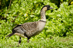 Native Hawaiian Goose Stock Photos