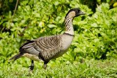 Native Hawaiian Goose Stock Photos