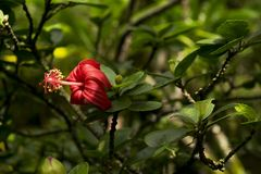 Native Hibiscus kokio. Most tourists in Hawaii are familiar with the ubiquitous Hibiscus that is common in landscaping. They are not aware that there are native Royalty Free Stock Photo