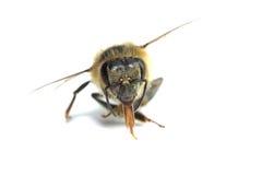 Native honey bee Royalty Free Stock Image