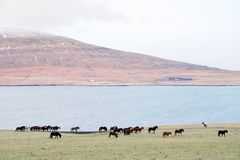 Native horses in Iceland. Small icelandic horses by the fjord, december, Iceland Royalty Free Stock Photography