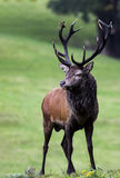 Native Irish Red Deer Stag. A Portrait of A Native Irish Red Deer Stag in the Kerry Mountains Ireland Stock Image