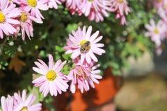 Native Japanese bee Stock Photo