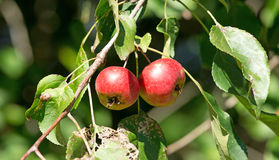 Native Maine wild apples Royalty Free Stock Images