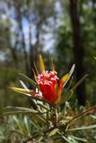 Australia: native mountain devil flower stock images