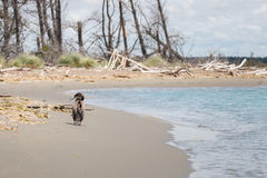 Native New Zealand bird Pied shag walks on along water edge. Canterbury, New Zealand Royalty Free Stock Photos