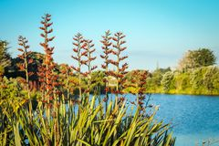 Native New Zealand Flax bush in flower. Phormium tenax beside a lagoon in Waikanae on the Kapiti Coast Stock Images