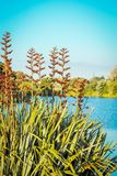Native New Zealand Flax bush in flower phormium tenax. Beside a lagoon in Waikanae on the Kapiti Coast Royalty Free Stock Images
