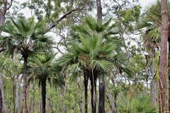 Native palm tree. S in Tropical  North Queensland in a natural state Stock Photo
