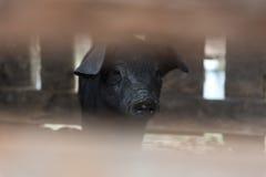 Native pig,Thailand Stock Photos