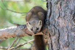 Native Pine Marten In Algonquin Provincial Park Stock Photography