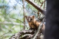 Native Pine Marten In Algonquin Provincial Park Royalty Free Stock Images