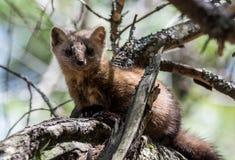 Native Pine Marten In Algonquin Provincial Park Stock Images