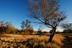 Native Plant at Uluru Royalty Free Stock Photo