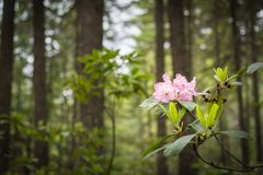 Native red rhododendron blooming in forest in June stock images