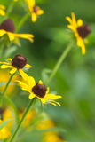 Native Rudbekia wild flowers Royalty Free Stock Images