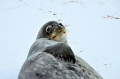 Weddell seal in Atartica. Native seal in weddell sea, Antartica. winter photografy. look at it face expresion. amazing experience Royalty Free Stock Photos