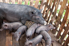 Native Sow And Piglets Royalty Free Stock Image