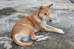 Native thai dog Stock Photos