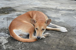 Native thai dog Stock Image