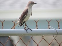 The Native Thrasher bird is always very aware of its surroundings. Close-up shot of a very alert Thrasher standing on the support pole of a rusty chain link royalty free stock photography