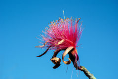 Shaving Brush Tree Royalty Free Stock Image