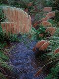 Native Toetoe flower fronds of New Zealand. Spanning a small creek stock image