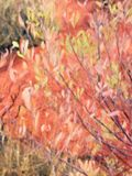 Native Tree Leaves and Bright Red Soil, Oil Painting Style, Uluru, Australia royalty free stock photo