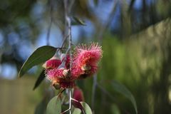 Flowers of the Eucalypt called the silver princess. stock photography