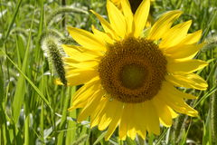 Native Weeds Surround a Sunflower. Sunflowers flourish at a local sunflower maze in NJ Royalty Free Stock Photo