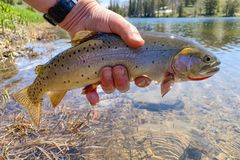 Wild westslope cutthroat caught and released from a high mountain lake in Idaho. Native westslope cutthroat trout caught on a fly stock photos