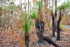 Native Xanthorrhoea Grass Trees of Australia Royalty Free Stock Photo