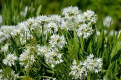 Nativo bianco della cipolla selvatica di narcissiflorum dell'allium in Francia del sud ed in Italia di nord-ovest Fotografia Stock