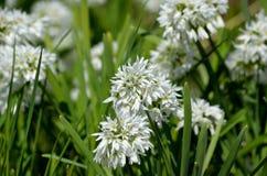 Nativo bianco della cipolla selvatica di narcissiflorum dell'allium in Francia del sud ed in Italia di nord-ovest Immagine Stock