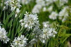 Nativo bianco della cipolla selvatica di narcissiflorum dell'allium in Francia del sud ed in Italia di nord-ovest di estate Immagini Stock