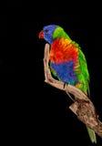 Nativo del pappagallo di Lorikeet in Australia Immagini Stock