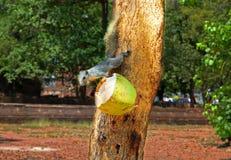 Nativo do esquilo à floresta tropical foto de stock