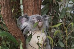 Nativo do urso de Koalo a Austrália Fotografia de Stock Royalty Free