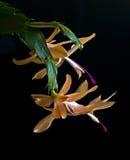 Nativo giallo del cactus di Natale del Brasile Fotografie Stock Libere da Diritti