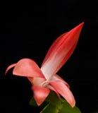 Nativo rosso del cactus di Natale del Brasile Immagini Stock Libere da Diritti