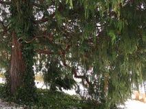 Natkanski κυπαρισσιών δέντρων, κυπαρίσσι Nutcan Pendula στοκ φωτογραφία με δικαίωμα ελεύθερης χρήσης