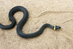 Natrix. Black snake crawling on the sand. Royalty Free Stock Photos