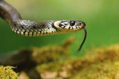 Natrix de Natrix de serpent d'herbe Images libres de droits