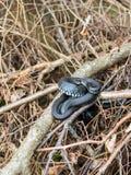 Natrix de Ntrix das serpentes de grama Fotos de Stock
