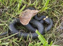 Natrix de Natrix de serpent d'herbe Image stock