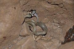 Natrix del Natrix de la serpiente de hierba Fotos de archivo