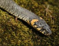 Natrix del Natrix del serpente di erba fotografie stock libere da diritti