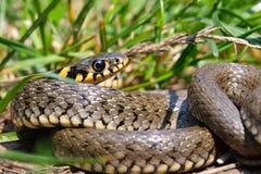 Natrix del Natrix o serpiente de hierba en el ambiente natural Imágenes de archivo libres de regalías