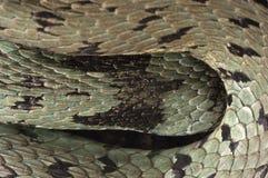 Natrix del Natrix del serpente di erba, occhio, collana fotografia stock libera da diritti