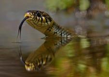 Natrix do Natrix da serpente de grama fotos de stock